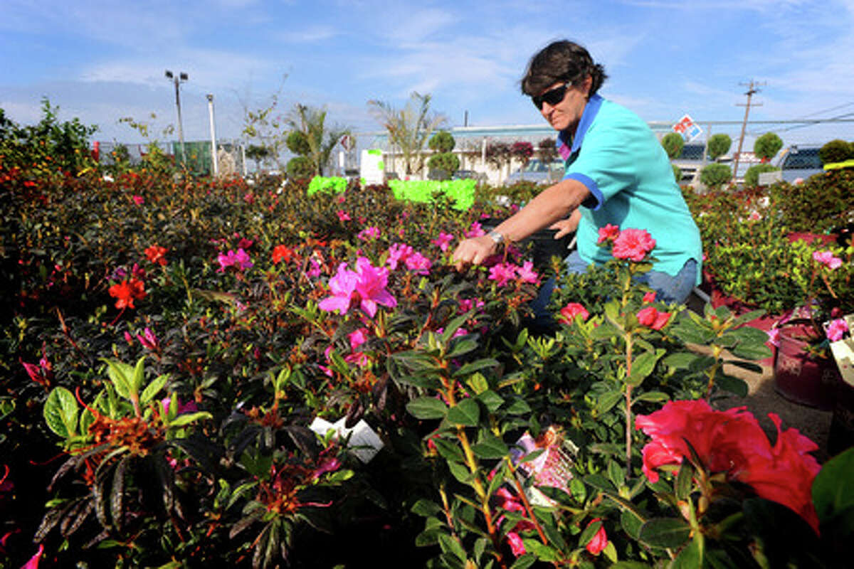Becky Ramke cares for blooming flowers at Cook's Nursery and Landscaping in Nederland on Monday. Guiseppe Barranco/The Enterprise