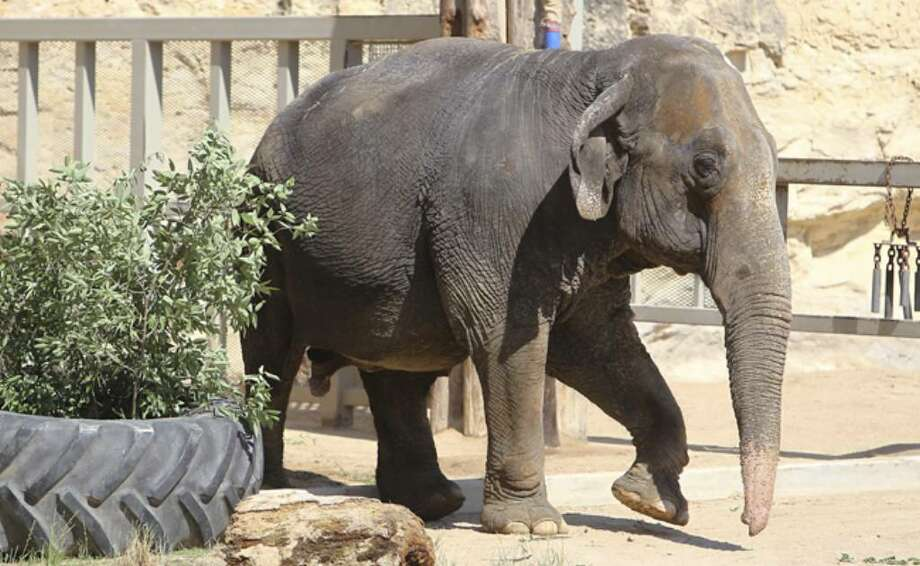 Boo is introduced to the public at the San Antonio Zoo on Friday.