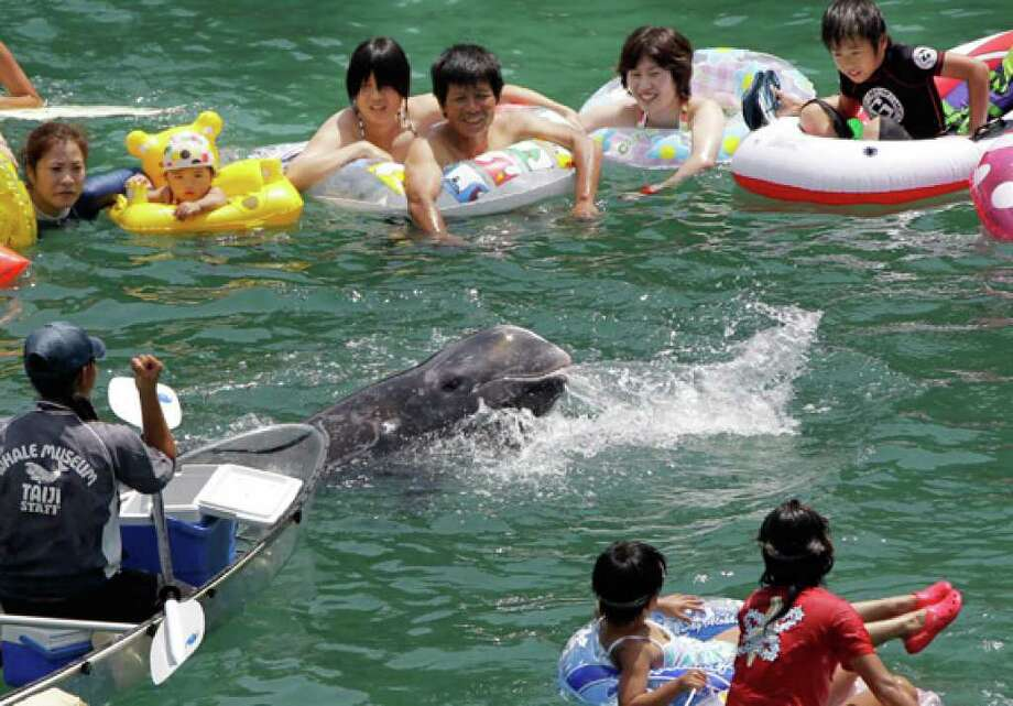 Tourists watch Niru, a Risso's dolphin caught locally, swim through the crowd looking for chunks of raw squid given by a Taiji Whale Museum employee (left) in a small ocean cove in Taiji, Japan. In early September, the waters of this same cove will turn blood red, as it becomes a holding pen for the annual dolphin hunts.