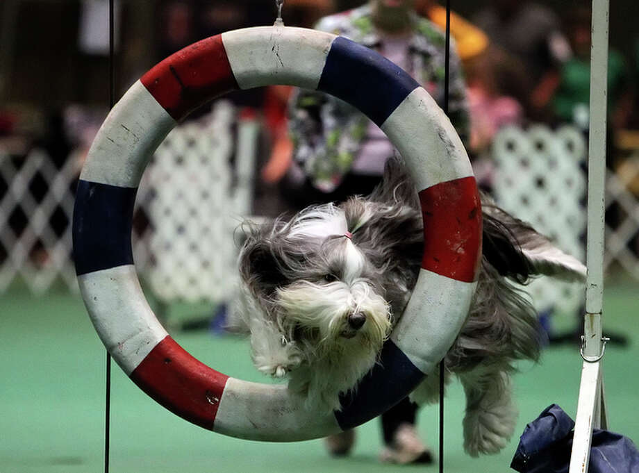 Six-year-old bearded collie, Dru, dives through the tire obstacle during the dog agility competition at the 2010 River City Cluster of Dog Shows at the Convention Center on Friday, June 18, 2010. / San Antonio Express-News