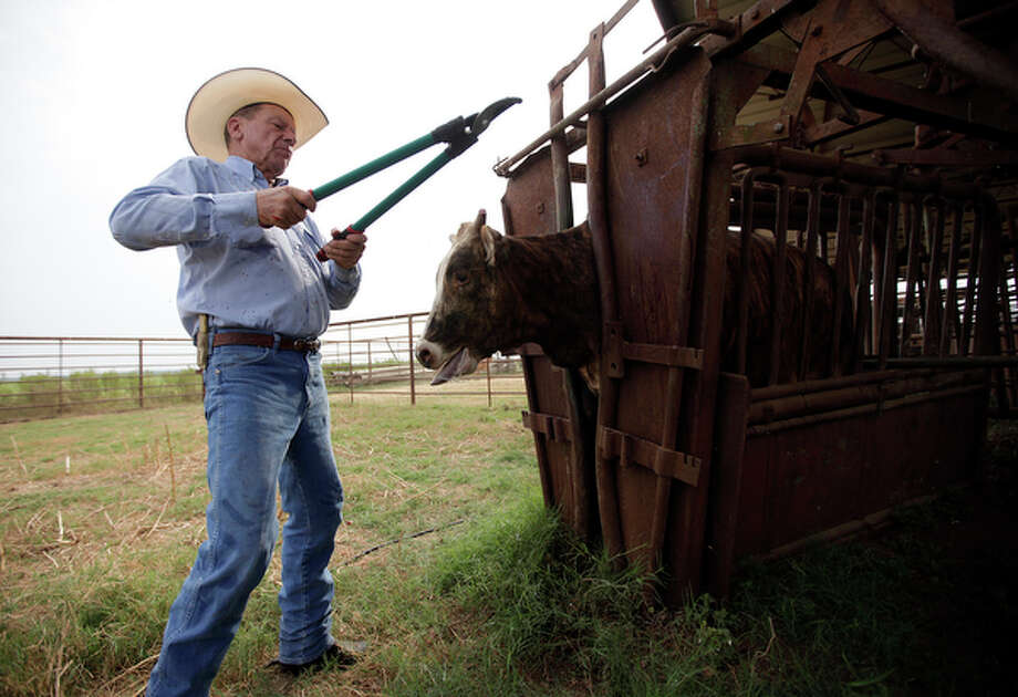 Ranch manager Gene Hirsch tips the horns of livestock at Schmidt Ranch in Charlotte, Texas on Thursday, August 26, 2010. Hirsch, 66, was voted Working Cowboy of the Year by the Pleasanton Express newspaper. / San Antonio Express-News