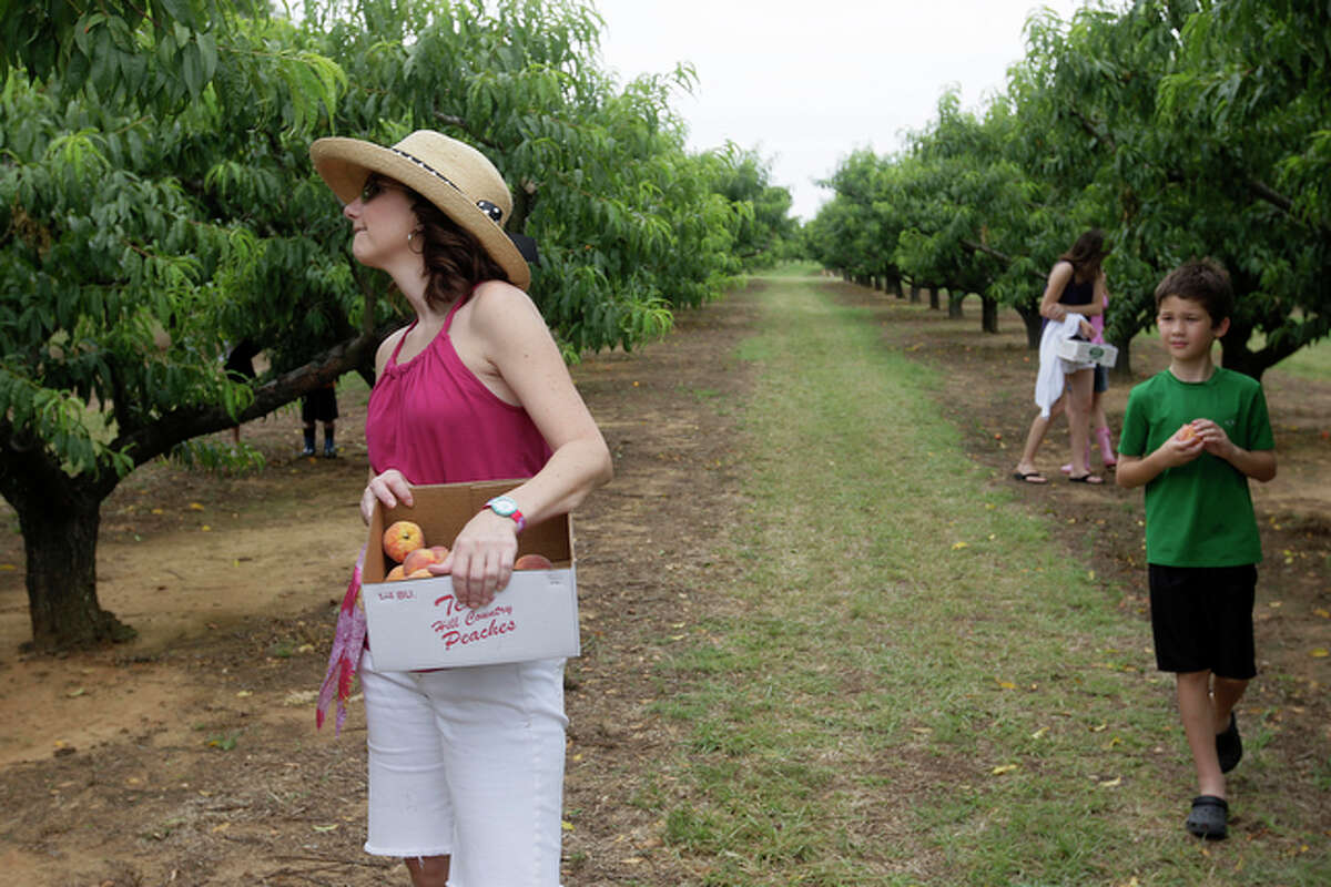 San Antonio residents Karla Smith, left, and Jack O'Quinn, 10, right, look for peaches as they pick their own with family and friends at the Marburger Orchards in Fredericksburg.