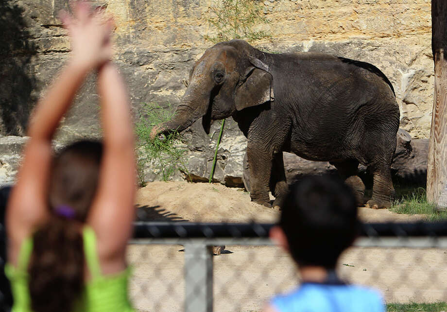 Boo is introduced to the public at the San Antonio Zoo. She arrived about five weeks ago from a private owner who had been ordered by a judge to sell or give Boo to a zoo. Boo is somewhat elephantine even for an elephant, tipping the scales at 9,500 pounds. An even weightier issue is how well she'll get along with Lucky, another mature female Asian elephant who's been at the zoo since 1962. / San Antonio Express-News