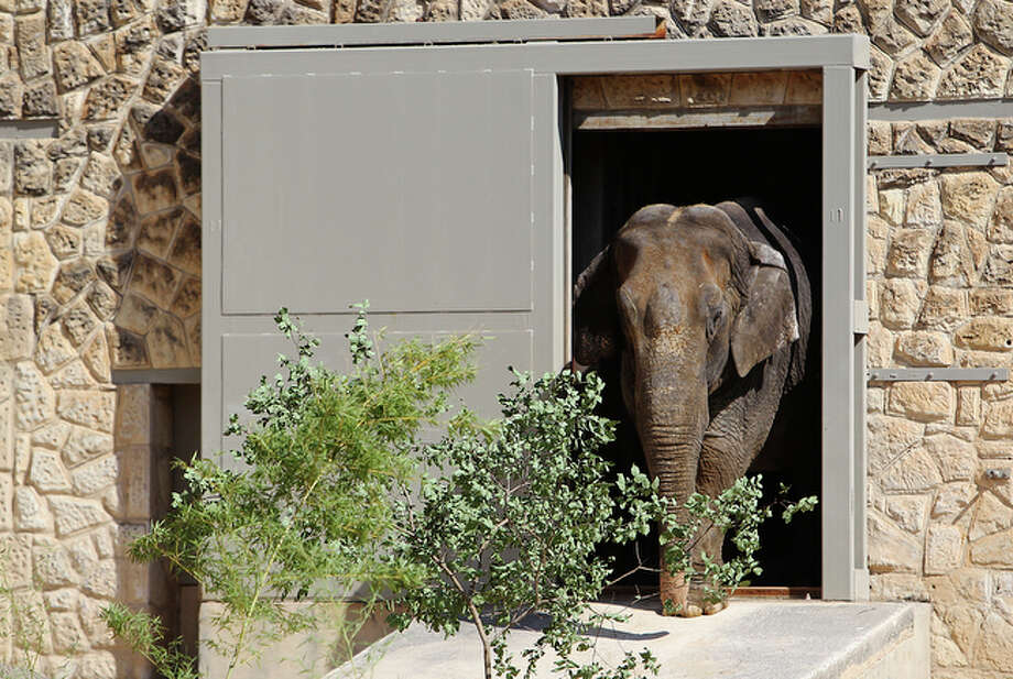 Boo, the Asian Elephant, slowly emerges from her barn as she is introduced to the public at the San Antonio Zoo on Friday, June 4, 2010. Boo arrived about five weeks ago and is now companions with the zoo's existing elephant, Lucky. / San Antonio Express-News
