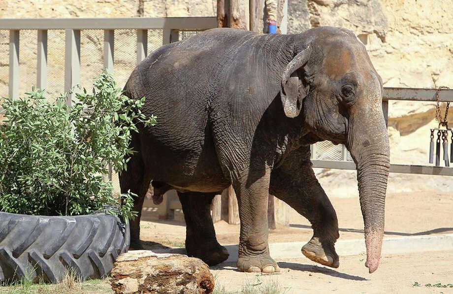 Boo, the Asian elephant, walks around the enclosure at the San Antonio Zoo. / San Antonio Express-News