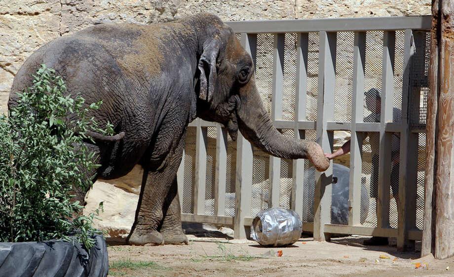 An animal caretaker reaches out to Boo, the Asian Elephant. / San Antonio Express-News