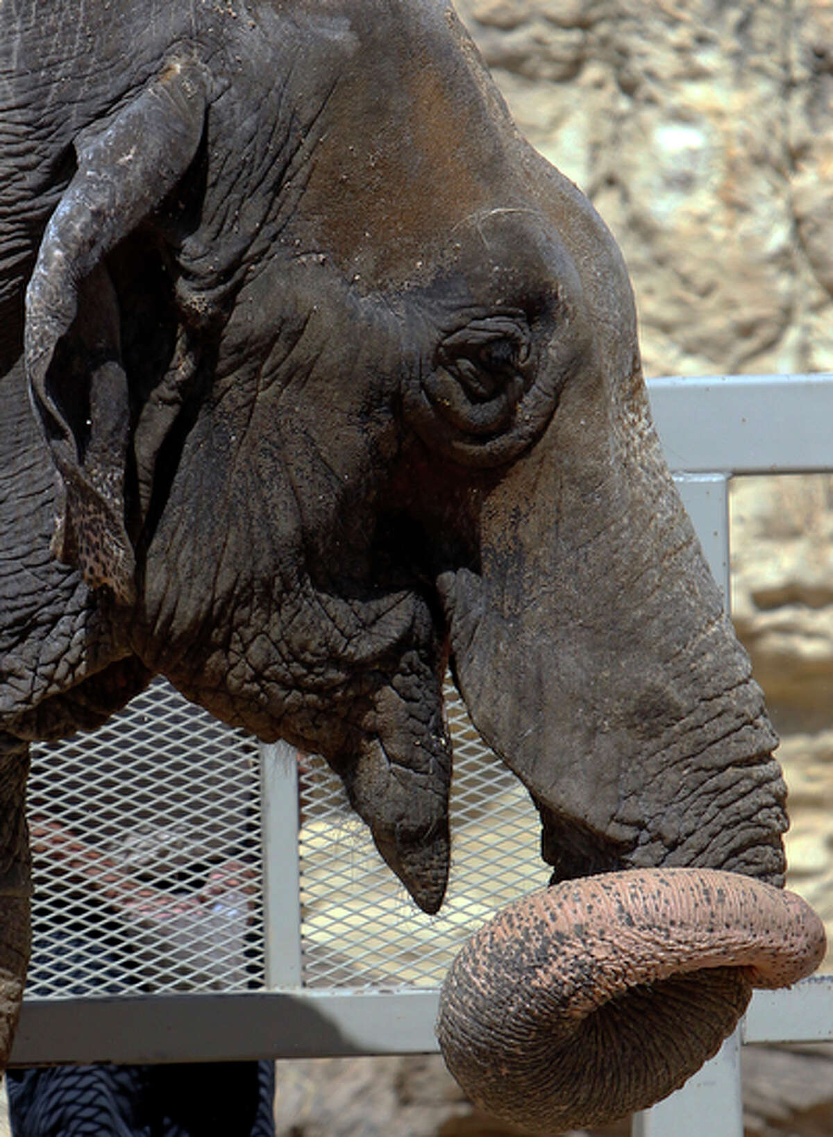 Boo, the Asian Elephant, will be eventually occupy the same space in the enclosure with companion elephant, Lucky.