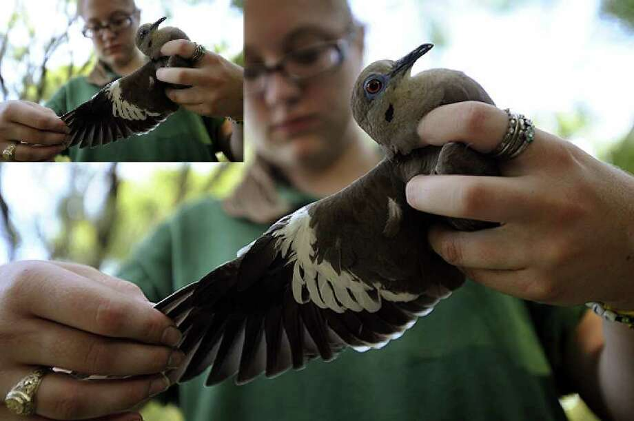 Michelle Wood of Texas Parks and Wildlife examines the wing of a white-winged dove in Helotes on Aug. 4, 2010.