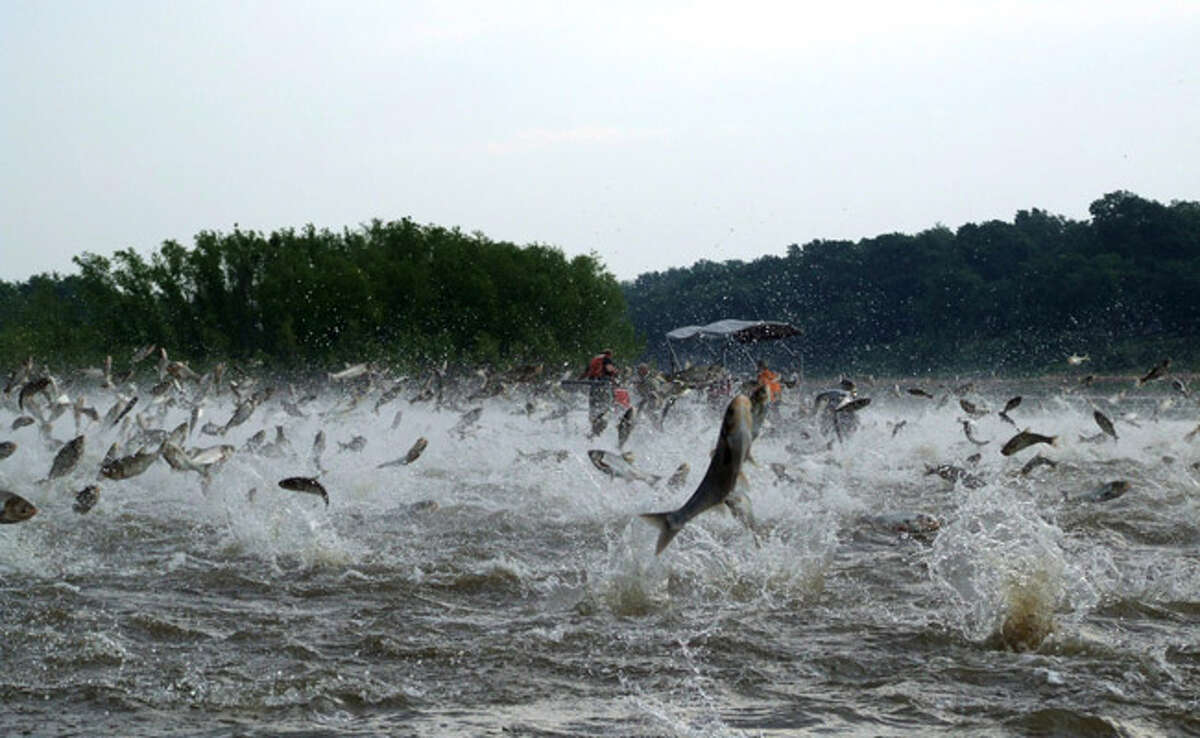 The species can pose a risk to humans, as they can jump up to 10 feet out of the water when startled by the sounds of watercraft, often jumping into boats, sometimes injuring boaters. Silver carp and bighead carp can also cause major changes in native fish populations by competing with other filter-feeding fish species, such as shad and buffalo, and even larval sportfish that also rely on plankton as a food source.