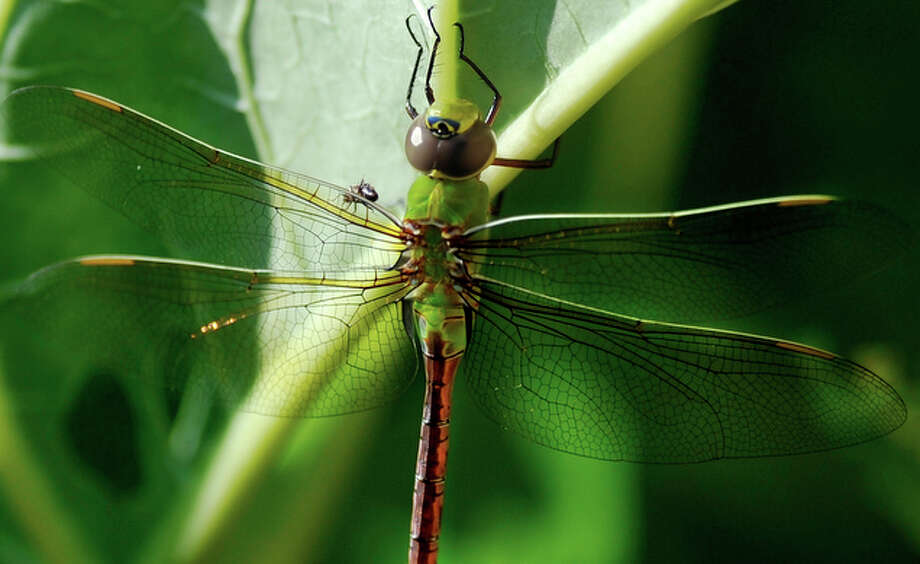 A Common Green Darner dragonfly rests on a rhubarb leaf in Racine, Wis.