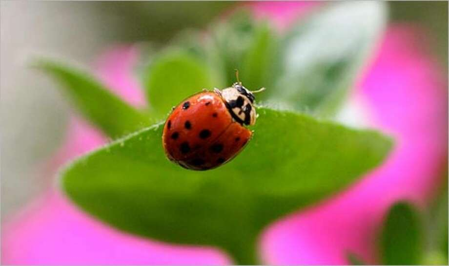 Ladybugs consume a variety of pest insects, but they're migratory. So if you want to keep them around, make sure there's a steady food supply for them.