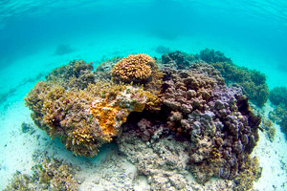 Orange-colored ringed rice coral, or montipora patula, is seen in waters off Waimanalo, Hawaii. Ringed rice coral is among 82 coral species the federal government is considering listing as endangered or threatened.