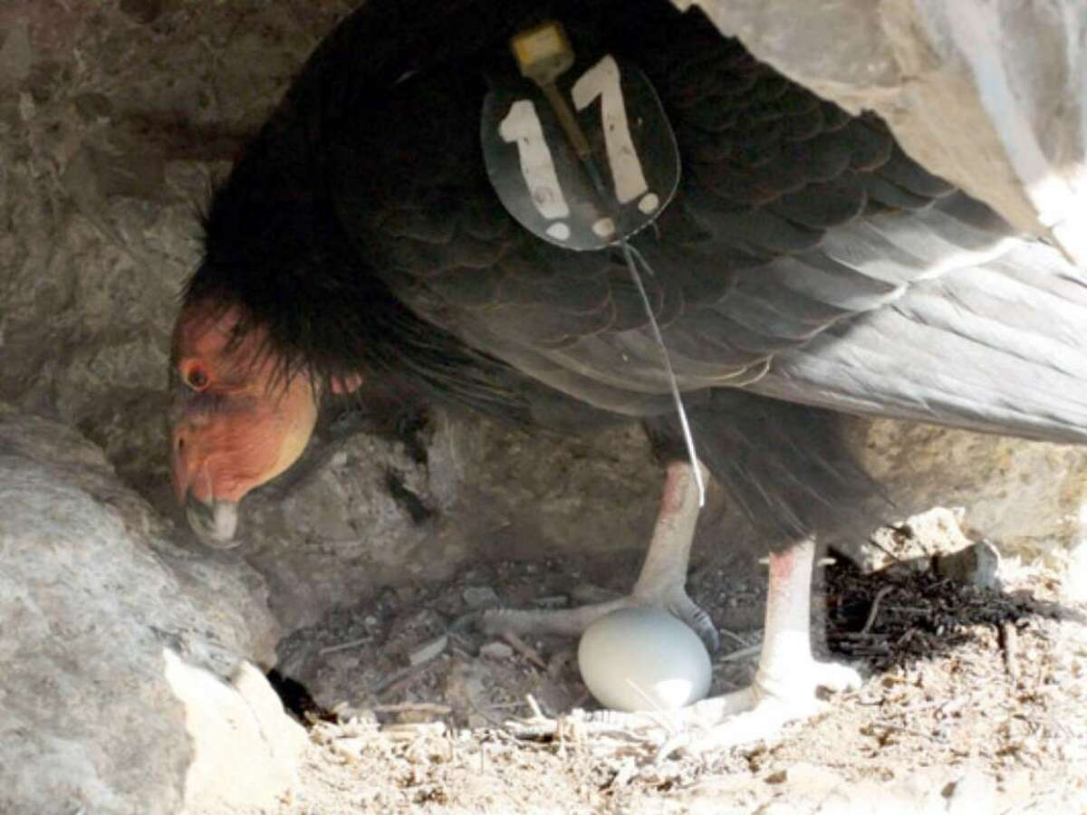 An adult female condor is seen with an egg biologists put in the nest on Monday, March 22, 2010, at Pinnacles National Monument in Paicines, Calif. For the first time in more than a century, a California condor chick has hatched inside the federal park that once was the species' domain. While biologists at Central California's Pinnacles National Monument are celebrating the latest milestone in the endangered birds' recovery, their enthusiasm is tempered by the fact the egg did not belong to the first-time parents. The egg was produced by a pair in the San Diego Wildlife Park's captive breeding program.