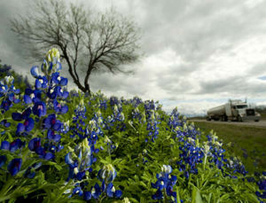 Wildflowers line Texas highways, including these bluebonnets along Highway 16 near Christine, about 70 miles south of San Antonio.