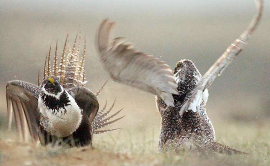 A male sage grouse fights for the attention of female sage grouse on a mating ground, southwest of Rawlins, Wyo. Biologists and energy interests are proposing long-term studies of the effects of wind farms on sage grouse, a football-sized bird that is a candidate for listing under the Endangered Species Act.