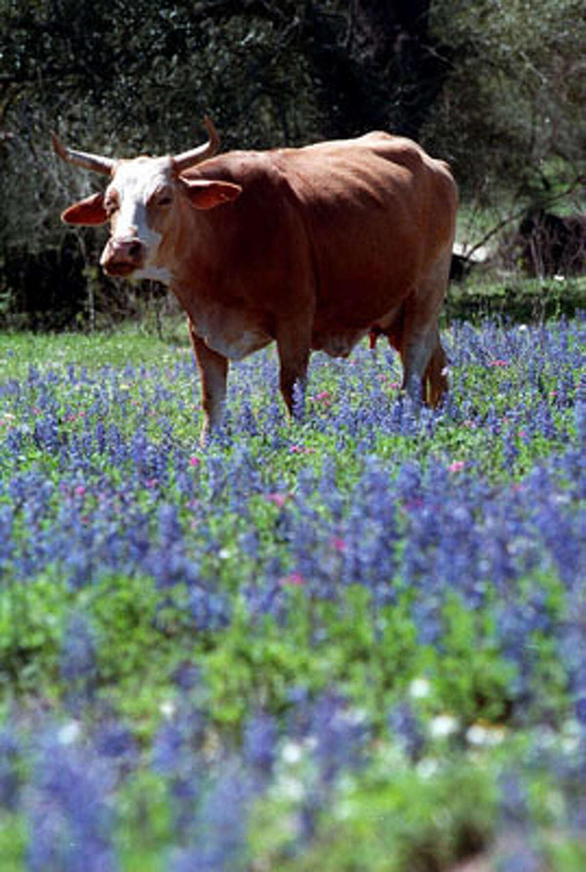A cow walks through the bluebonnets on Jim Collums ranch, near Poteet.