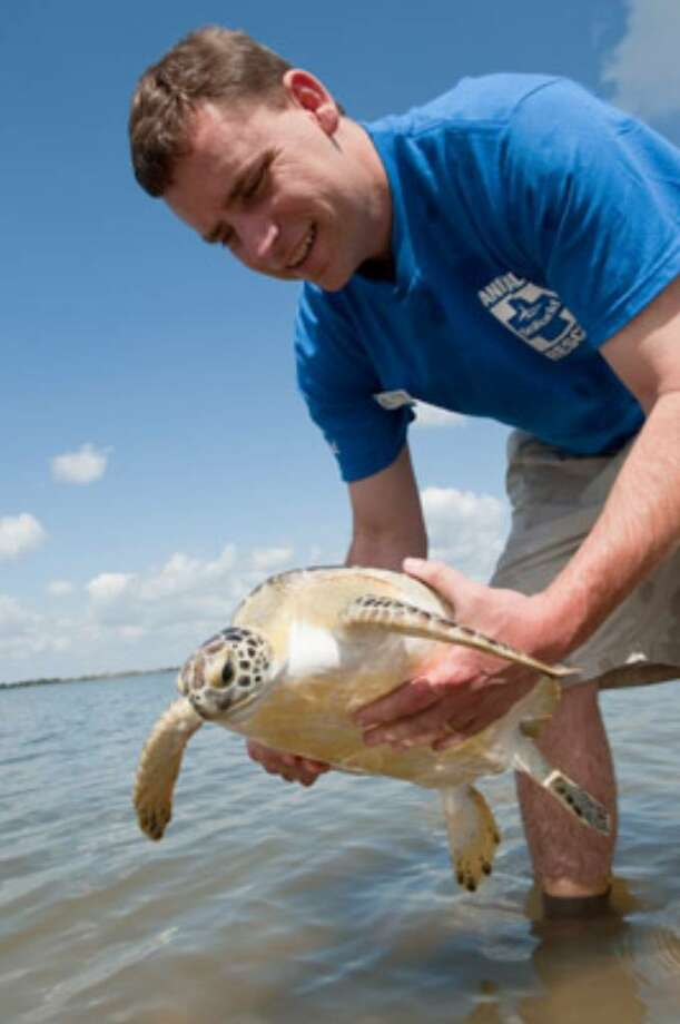 SeaWorld aquarist Dan Conklin releases the first of two endangered green sea turtle back into the waters of Titusville, Fla., on Thursday.