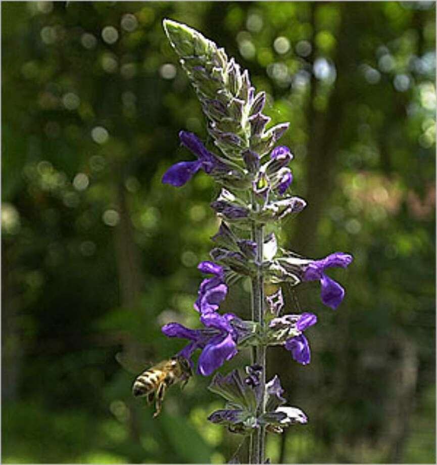 'Indigo Spires' salvia can grow as tall as 8 feet in some areas. It is best planted in full sun in the back of a shrub or perennial border.