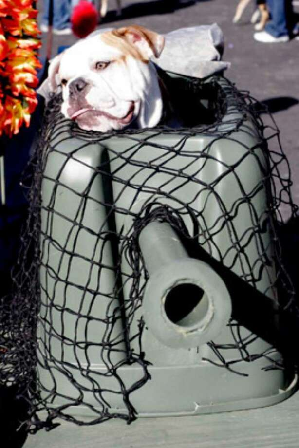 Bruce, a 9-month-old English bulldog, looks out from his doggie tank turret after competing in the costume contest at the 12th annual Pooch Parade.