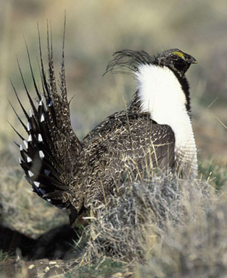 This image from U.S. Fish and Wildlife Service show a wild sage grouse. The Interior Department announced Friday that it won't list sage grouse as endangered or threatened, but will classify the bird among species that are candidates for federal protection.