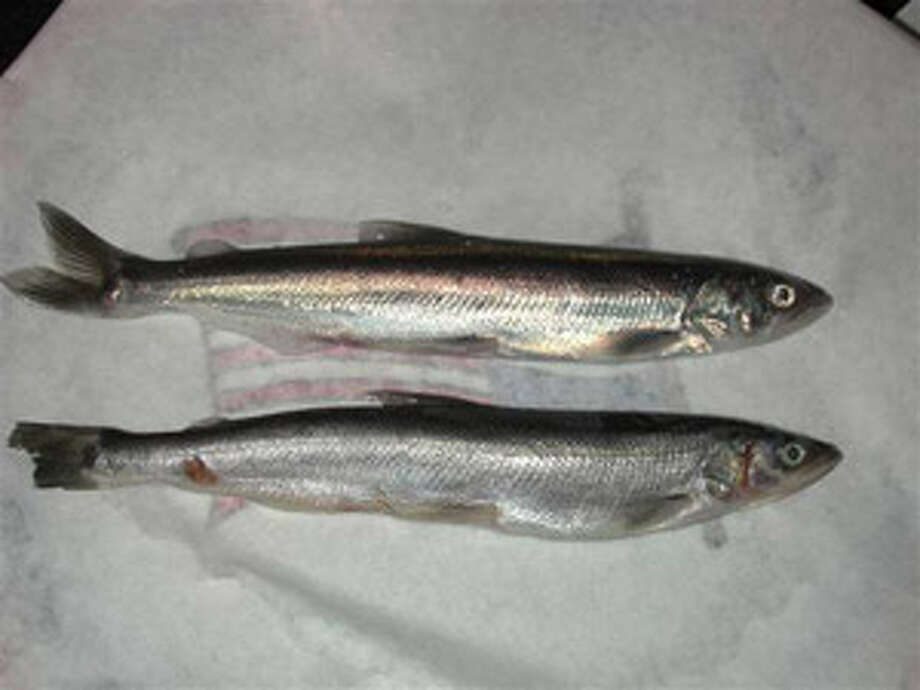 The Pacific Smelt is getting federal protection because it's been declining toward extinction due to global warming and other factors.