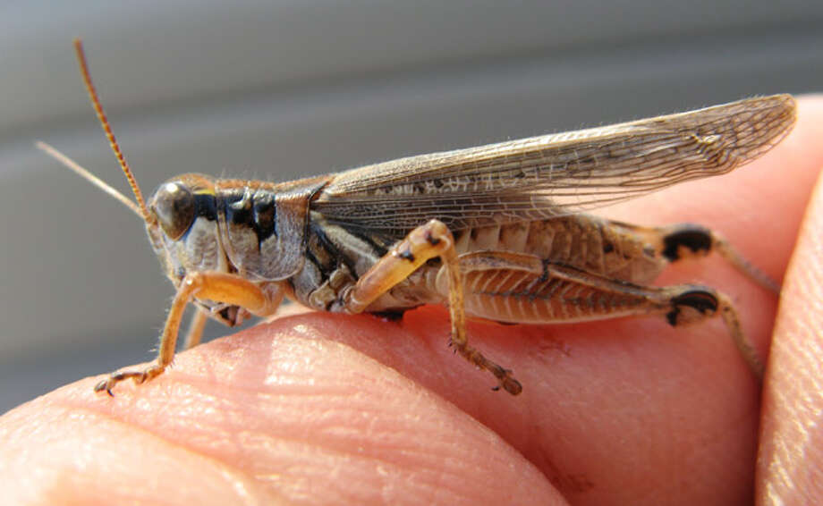 An adult male migratory grasshopper is seen near near Wheatland, Wyo.