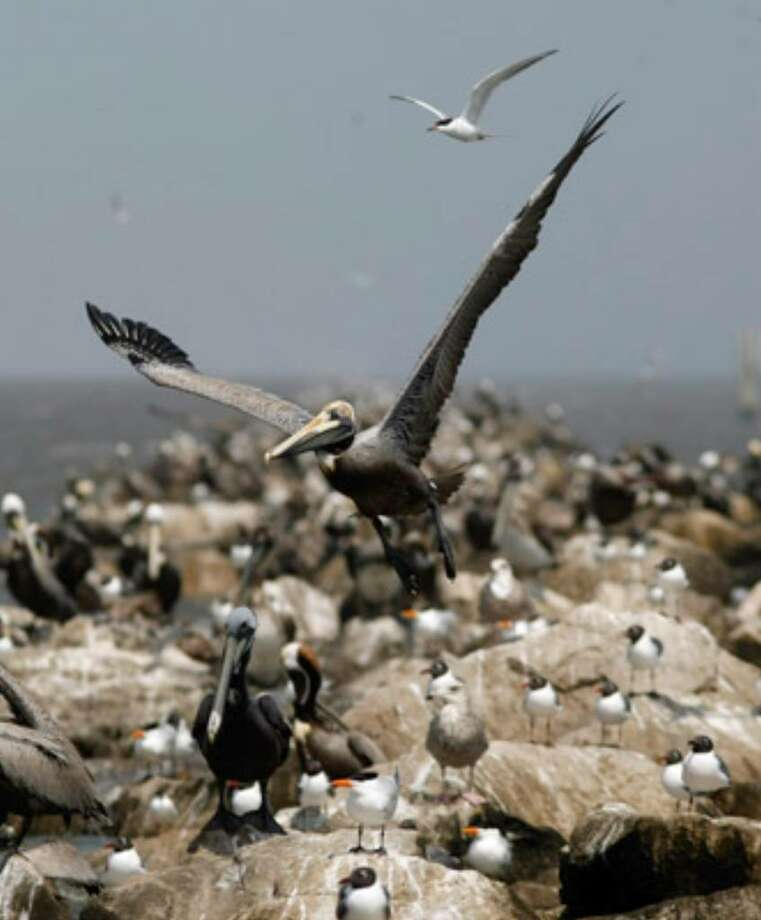 Various seabirds, which are vulnerable to oil spills, are seen in the Breton Sound of the Gulf of Mexico off the coast of Louisiana.
