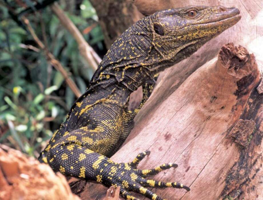 In this April 2006 photo released by National Museum of the Philippines, a golden-spotted monitor lizard rests on a tree trunk in the Sierra Madre mountains, Philippines. Scientists said in Wednesday, April 7, 2010's Royal Society journal Biology Letters that they have discovered a 6.5-foot-long golden-spotted monitor lizard, named Varanus bitatawa, in the forested mountains of the Philippines.