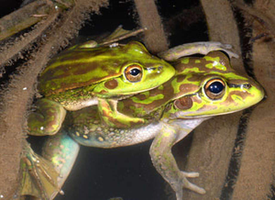 This photo provided by the New South Wales National Parks and Wildlife Service shows a pair of Yellow-spotted Bell Frogs in the Southern Tablelands of New South Wales state of Australia. The species of frog thought to have been extinct for 30 years has been discovered in rural Australian farmland, officials said Thursday.
