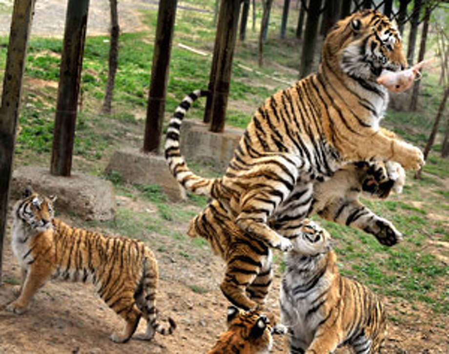 In this 2009 photo, Siberian tigers jump for a chicken tossed by a feeder at a branch of Harbin Siberian Tigers Breeding Center in Shenyang in northeast China's Liaoning province. Eleven rare Siberian tigers kept in small cages and fed only chicken bones have died of malnutrition at the nearby Shenyang Forest Wild Animal Zoo, state media said Friday.