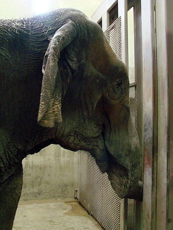 An enormous, gentle Asian elephant named Boo that recently arrived at the San Antonio Zoo was beaten and neglected while traveling with small circuses, government records indicate. The zoo's executive director, Steve McCusker, has declined to discuss Boo's past in detail. But he said she'll have a good life at the zoo, including exercise, stimulation and attentive veterinary care. Zoo officials said the 55-year-old elephant may have arthritis, and it may be weeks before she's out of quarantine and is seen by the public. / COURTESY SAN ANTONIO ZOO