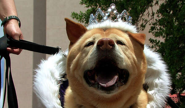 Dingo, El Rey Fido 2010, is crowned, despite a controversy over who holds claim to the royal title, Fido or his human counterpart, El Rey Feo. The royal court of pooches declined to issue a statement about demands to cease use of its title because it sounds like the trademarked name Rey Feo. / gcalzada@express-news.net