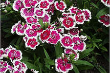 If the weather stays nice, dianthus will bloom well into the summer.