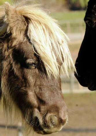 One of the 10 miniature horses rescued from a Wisconsin farm spend time at the Catskill Animal Sanctuary in Saugerties. ( Michael P. Farrell/Times Union ) Photo: Michael P. Farrell