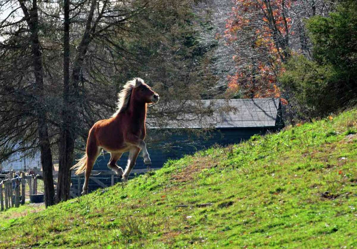 A miniature horses rescued from a Wisconsin farm gallops up a hill at the Catskill Animal Sanctuary in Saugerties. ( Michael P. Farrell/Times Union )