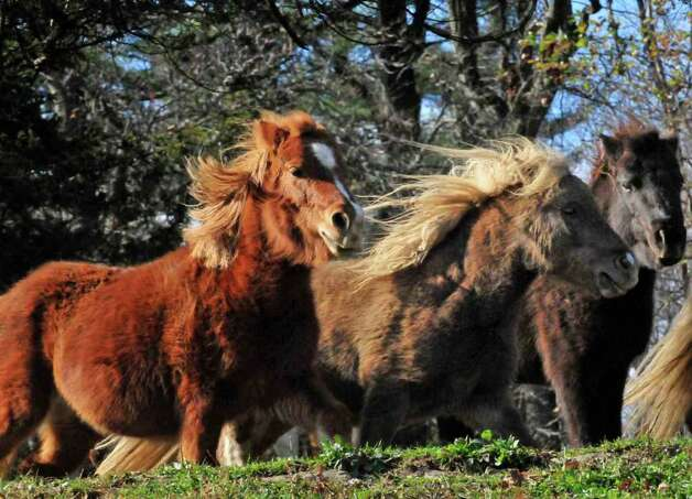 Miniature horses gallop at the Catskill Animal Sanctuary in