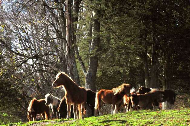 Horses recued from a Wisconsin farm graze on a hill at the Catskill Animal Sanctuary in Saugerties. ( Michael P. Farrell/Times Union Photo: Michael P. Farrell / Rey Riojas        Photography 2010