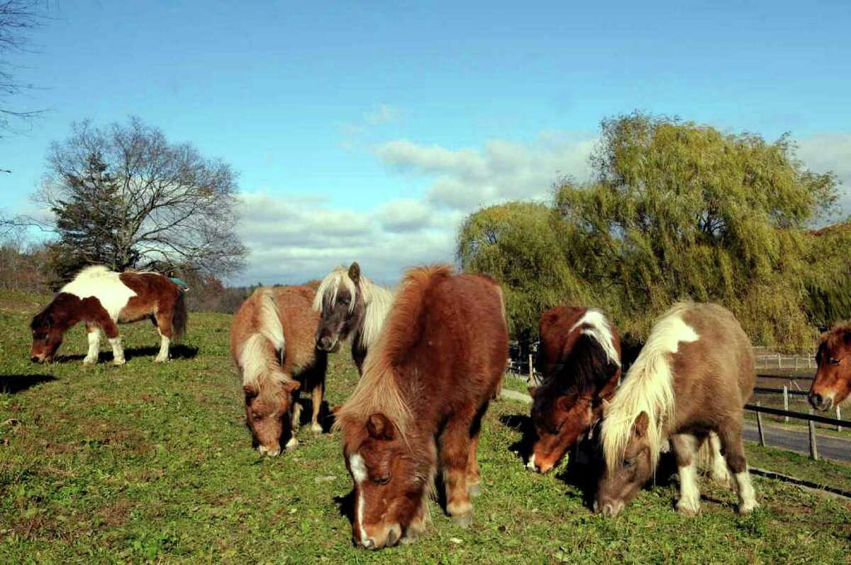 Miniature horses recued from a Wisconsin farm graze on a hill at the Catskill Animal Sanctuary in Saugerties. The animals Director Kathy Stevens took in had plenty of room to roam in Wisconsin, but still have problems with their hooves, as well as having worms and bad teeth. (Michael P. Farrell/Times Union )