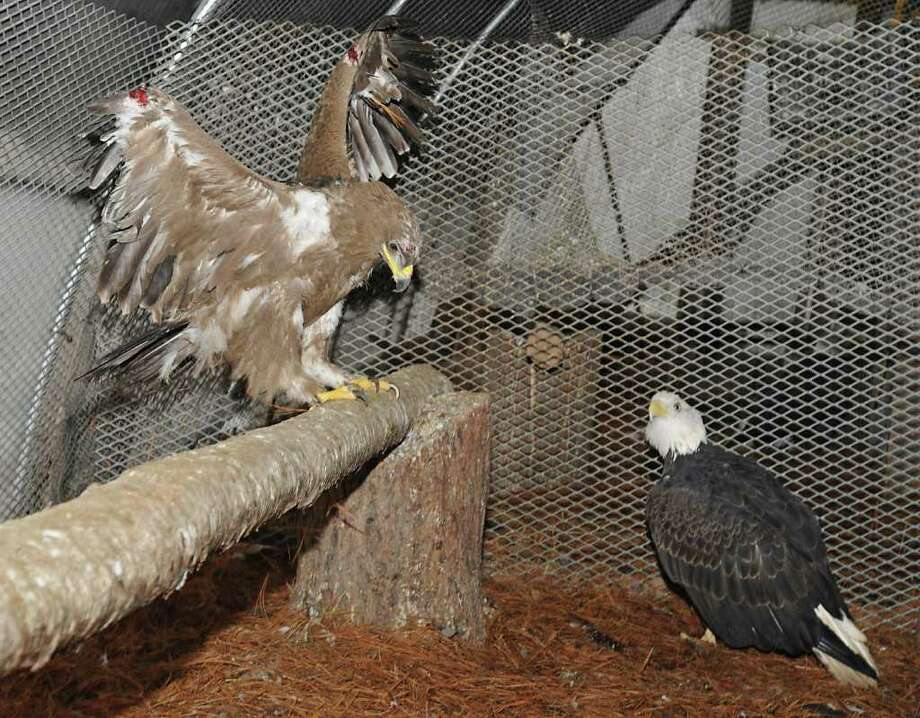 Mitch, left, the wounded steppe eagle from Afghanistan who Navy SEALs nursed back to health, shares a cage with Ed the eagle at the Berkshire Bird Paradise Sanctuary in Petersburgh, NY, on November 8, 2010. (Lori Van Buren / Times Union) Photo: Lori Van Buren