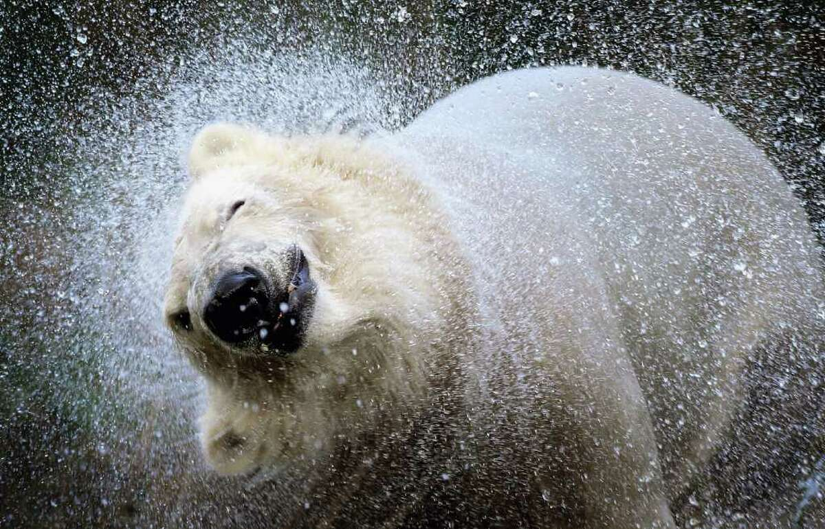 KINGUSSIE, UNITED KINGDOM - NOVEMBER 12: 23-month-old Walker, the new polar bear at Highland Wildlife Park has a swim before meeting with 30-year-old Mercedes for the first time on November 12, 2010 in Kingussie, Scotland. The bears were both released today into the 4 acre main enclosure which will be their home.. (Photo by Jeff J Mitchell/Getty Images)