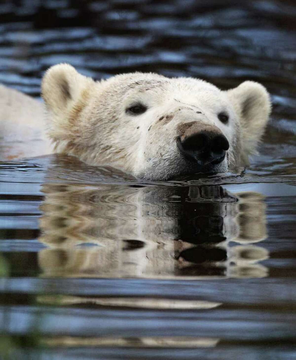 KINGUSSIE, UNITED KINGDOM - NOVEMBER 12: 23-month-old Walker the new polar bear at Highland Wildlife Park has a swim before meeting with 30-year-old Mercedes for the first time on November 12, 2010 in Kingussie, Scotland. The bears were both released today into the 4 acre main enclosure which will be their home.. (Photo by Jeff J Mitchell/Getty Images)