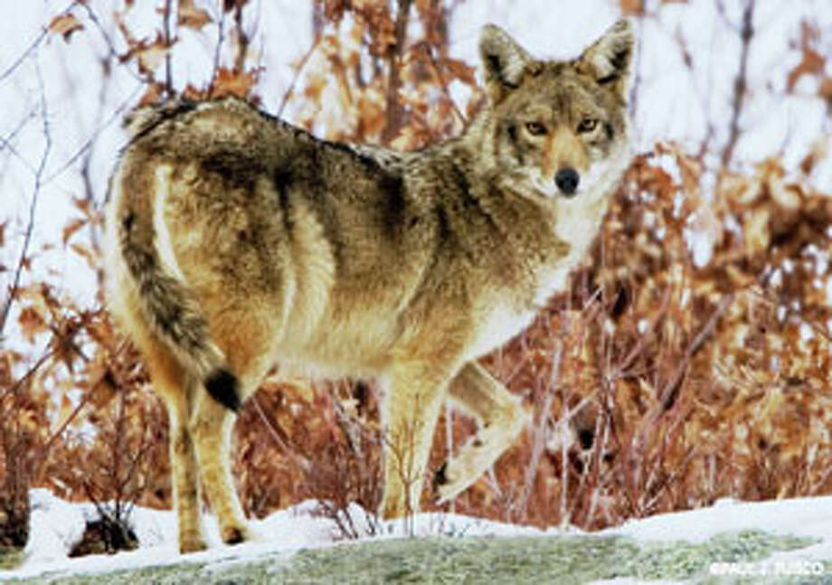 A coyote similar to the one pictured allegedly charged a Shih Tzu Friday afternoon. The photo is from the Connecticut Department of Environmental Protection Wildlife Division Web site. Photo: Contributed Photo / Fairfield Citizen contributed