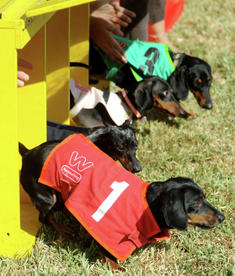 Dachshunds take off during the final race of the Wiener Dog Race during the Wienerschnitzel's Wiener Dog Races and Costume Contest benefiting the Alzheimer's Association of Southeast Texas at Diagnostic Health in Beaumont, Saturday. Tammy McKinley/The Enterprise / Beaumont Enterprise