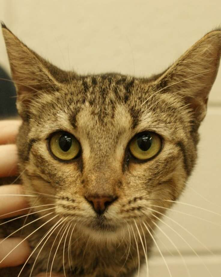 Kashmere, a female gray domestic with short hair is adoptable at Beaumont Animal Services, (409) 980.8311.