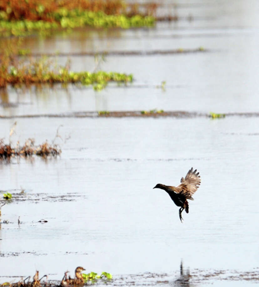 A bird lands in Cattail Marsh at Tyrell Park in Beaumont, Thursday. Tammy McKinley/The Enterprise / Beaumont Enterprise