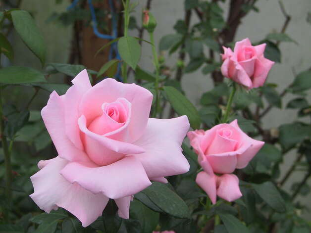 Here's what the Marylou Whitney Rose, named after the Saratoga Springs philanthropist, looks like. (Courtesy John Hendrickson)