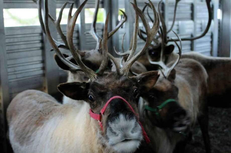 A reindeer, like these, will be at McArdle's Florist & Garden Center in Greenwich from Nov. 26 through Dec. 24 as part of the 2010 Greenwich Reindeer Festival & Santa's Workshop, presented by Mercedes-Benz of Greenwich to Benefit Kids in Crisis. Photo: Contributed Photo