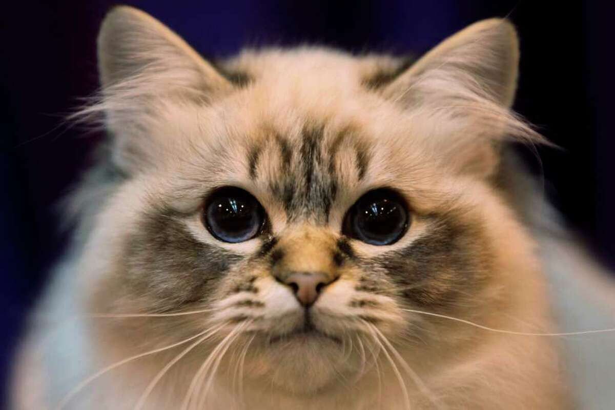 BIRMINGHAM, ENGLAND - NOVEMBER 20: A Tabby Point Birman Kitten named 'Felonie The Full Monty' sits in its pen after being exhibited at the Governing Council of the Cat Fancy's Supreme Cat Show held in the NEC on November 20, 2010 in Birmingham, England. The one-day Supreme Cat Show is one of the largest cat fancy competitions in Europe with 1196 cats being exhibited. This year's show is celebrating 100 years of the Governing Council of the Cat Fancy; exhibitors are aiming to have their cat named as the show's 'Supreme Exhibit' from the winners of the individual categories of: Persian, Semi-Longhair, British, Foreign, Burmese, Oriental and Siamese. (Photo by Oli Scarff/Getty Images)