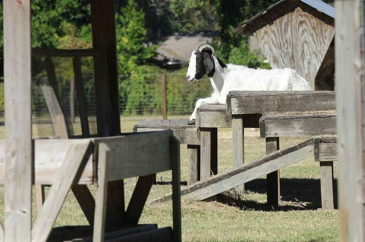 A favorite attraction on Phelan Boulevard is Sam Parigi's goat farm. Accommodations have gotten more plush in recent months for the goats.. The four-legged animals now enjoy air conditioning, new furniture and a fresh cement slab to lay on. Guiseppe Barranco/The Enterprise