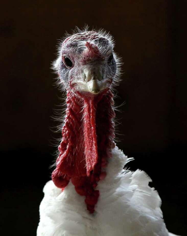 SONOMA, CA - NOVEMBER 22:  With less than one week before Thanksgiving, a turkey stands in a barn at the Willie Bird Turkey Farm November 22, 2010 in Sonoma, California. An estimated forty six million turkeys are cooked and eaten during Thanksgiving meals in the United States.  (Photo by Justin Sullivan/Getty Images) Photo: Justin Sullivan, Getty Images / 2010 Getty Images